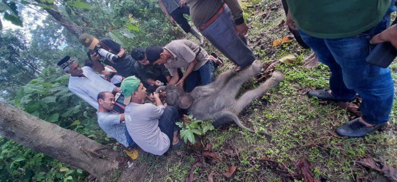 Dijaga Induknya Saat Tim Evakuasi Anak Gajah Terjebak di Lumpur