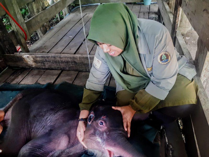 Inong, Bayi Gajah Liar yang diselamatkan dari Kubangan Akhirnya Mati